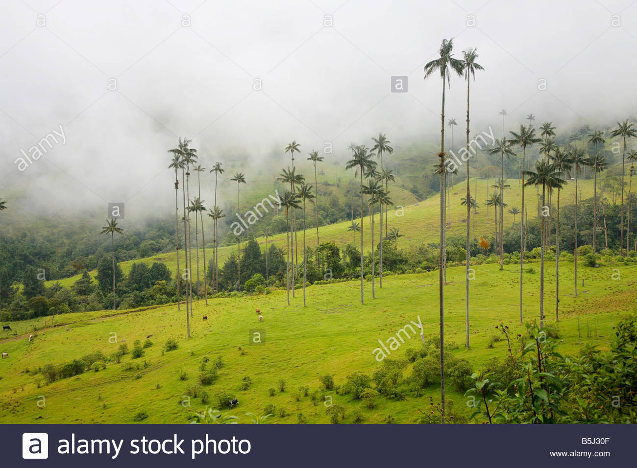 Valle de Cocora  Southwest Colombia, Landscape of wax palm trees in Cocora Valley near Salento ...