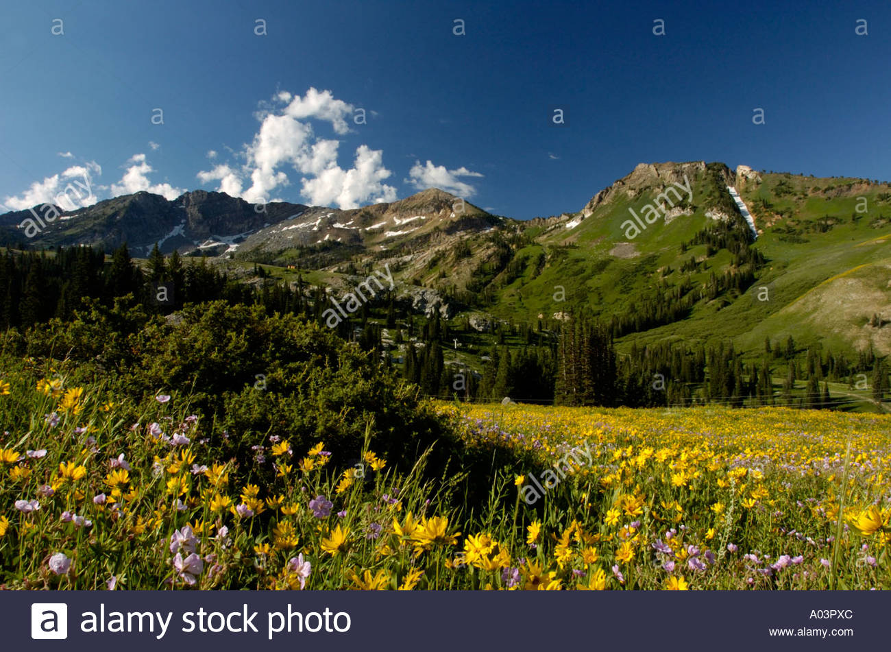Wildcat Bluff Nature Center Amarillo, Springtime alpine meadow with yellow wildflowers, Albion Basin ...