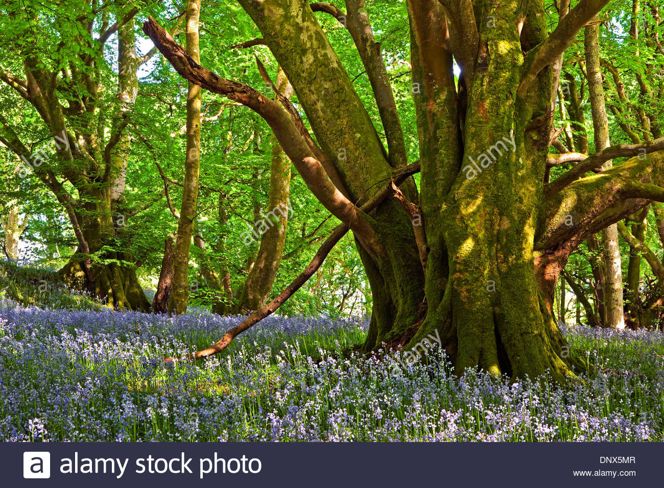 Wood of Cree Nature Reserve The Borders and the Southwest, Bluebells Of Scotland Stock Photos & Bluebells Of Scotland Stock ...