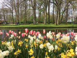 Bollenstreekroute Day Trips from Amsterdam | Finding the Best Tulip Fields in the Netherlands | Tips for ...