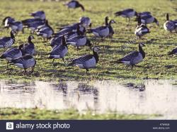 Caerlaverock Wildfowl and Wetlands Centre The Borders and the Southwest | Caerlaverock Nature Reserve Stock Photos & Caerlaverock Nature ...