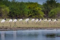 Crooked Tree Wildlife Sanctuary Crooked Tree | Jabiru Storks - by Tony Rath - JungleDragon