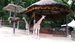 Emperor Valley Zoo Port of Spain | Giraffes at the Emperor Valley Zoo - YouTube