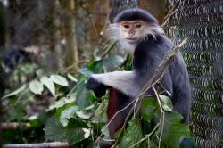 Endangered Primate Rescue Center Cuc Phuong National Park | Grey-Shanked Douc Langur at The Endangered Primate Rescue … | Flickr