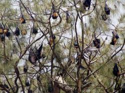 Flying Foxes Around Tongatapu | Babasiga: Some people like to eat bats, but others do not!