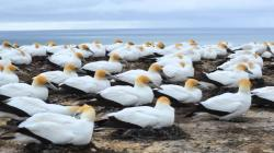 Gannet Colony Cape Kidnappers | Cape Kidnappers Gannet Colony - YouTube