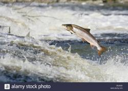 Philiphaugh Salmon Centre The Borders and the Southwest   Philiphaugh Stock Photos & Philiphaugh Stock Images - Alamy