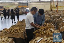 Tobacco Floor Harare   Feature: Partnering Chinese, Zimbabwe tobacco farmers embark on ...