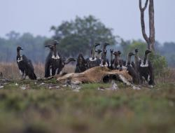 Veal Krous Vulture Feeding Station Cambodia | Northern Cambodia