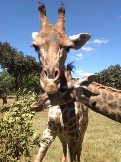 Wild is Life Harare   Hand feeding Giraffes. Wild is Life. Harare, Zimbabwe (excursion ...
