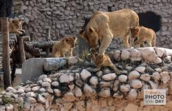 Zoo Lucknow   Lioness along with Cubs in Lucknow Zoo - Photo of the Day - Steves ...