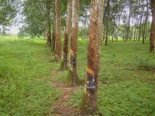 Firestone Rubber Plantation Marshall