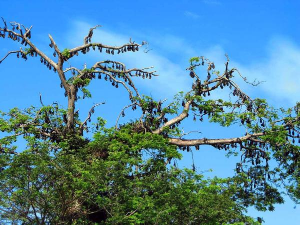Flying Fox Roosts Madang