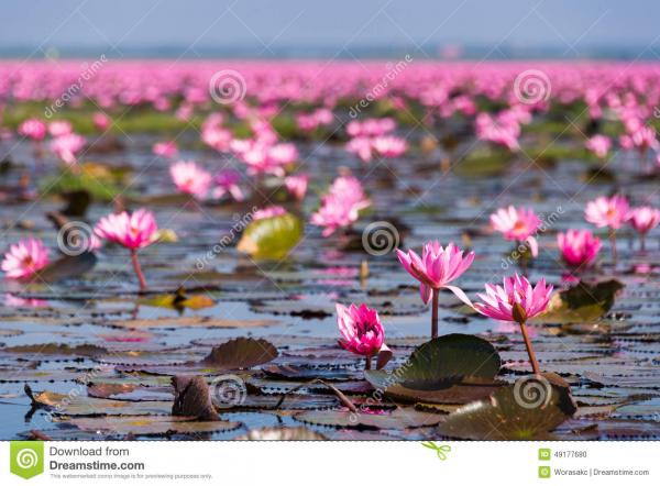 Red Lotus Sea Udon Thani Province