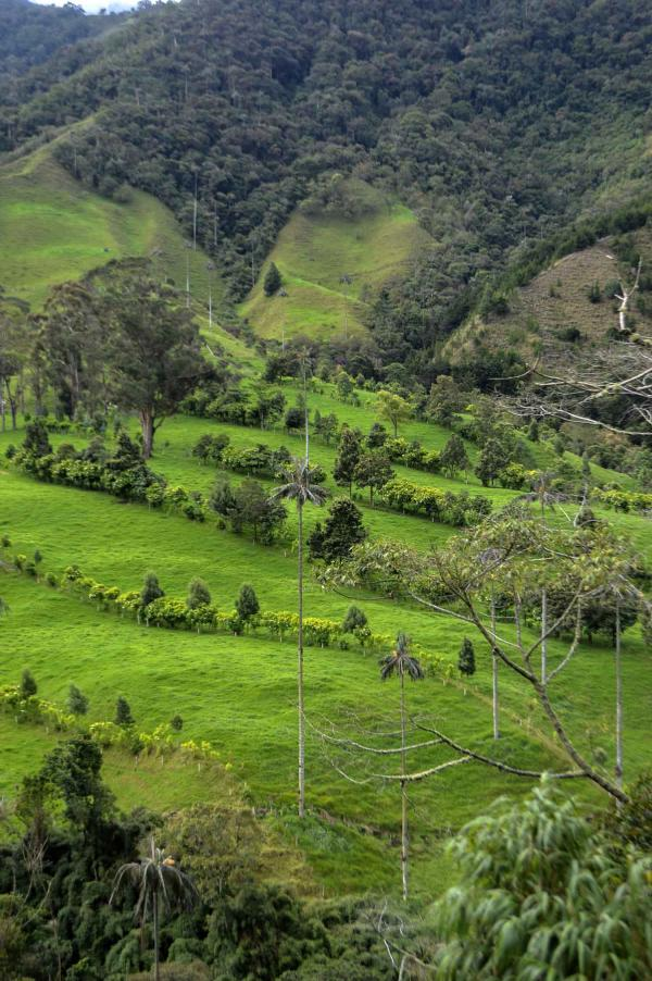 Valle de Cocora  Southwest Colombia